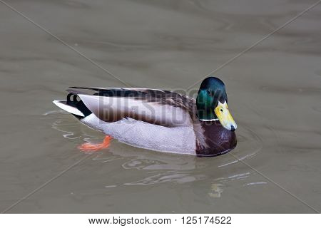 drake of mallard (Anas platyrhynchos) on the water