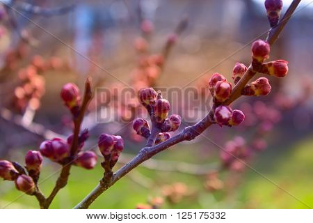 apricot flower bud on a tree branch, branch with tree buds