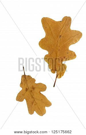 Pressed and dried brown leaf oak isolated on white background. Herbarium oshibana pressed floristry.