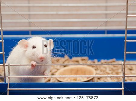 Funny big-eared rat in a cage (shallow DOF selective focus on the rat eyes)
