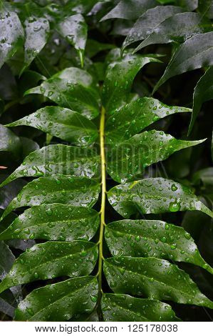 Water dew drops on green fern frond