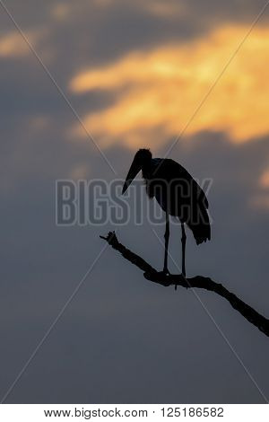 Silhouette of marabou stork on a dead tree at sunset