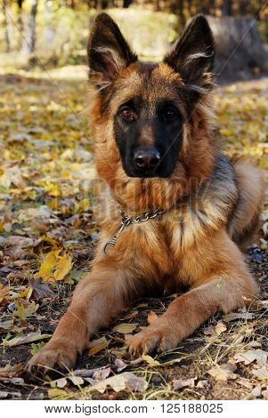 German shepherd dog Junior puppy Seven months old lying in the  forest