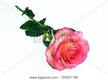 fresh delicate pink rose lies on a white background. declaration of love.