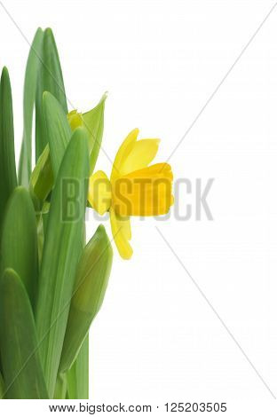 Beautiful fresh narcissus flowers, isolated on white background.