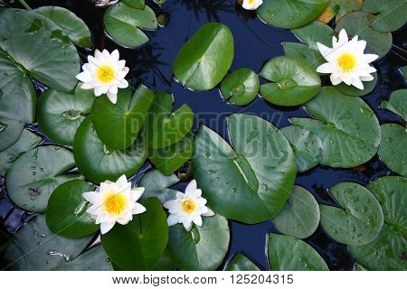 Several flowers of a white water lily (Nymphaea alba)