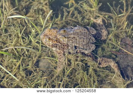 Portrait of a pair of mating Common Toad (Bufo bufo) during spring migration