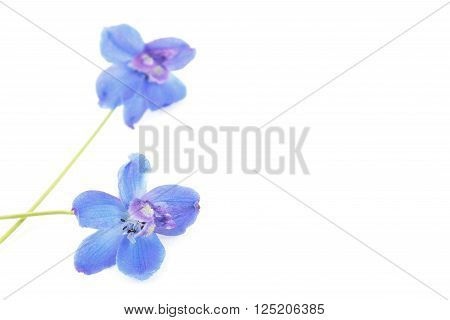 Blue delphinium flowers isolated on white background