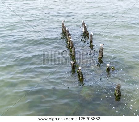 Seagulls are sitting on rotten piles, prominent out of water