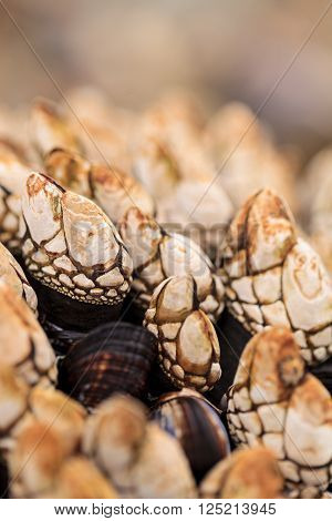 Gooseneck barnacle Pollicipes polymerus clusters cling to rocks with mussels in a tidal zone in Laguna Beach, California as the ocean seawater rolls in at high tide.