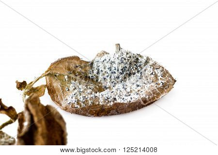 Mealybug On A Leaf
