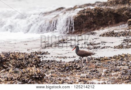 Black oystercatcher shorebird Haematopus bachmani with its bright orange beak forages along the tidal pools of Laguna Beach, California, United States