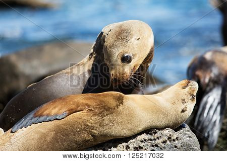 group of sea lions at the rocky beach in california