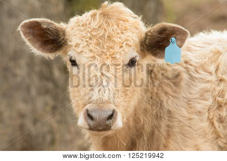 Young steer looking at the viewer in winter pasture