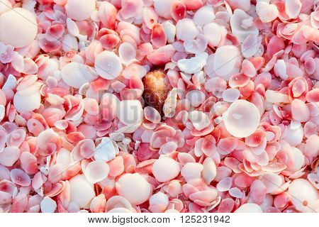 Pink sand beach on Barbuda island in Caribbean made of tiny pink shells, close up photo