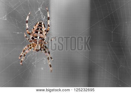 Spider spinning - A magnificent spider before entsättigtem background