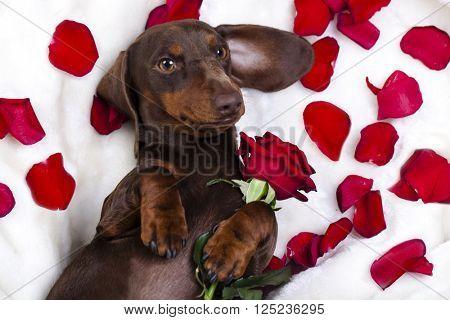 dog dachshund and red roz