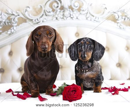 tvo dachshund and rose flower