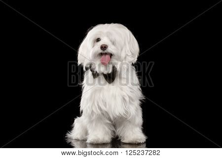 White Maltese Dog Sitting and Happy Looking in Camera isolated on Black background