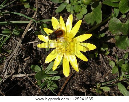 Yellow flower of Ficaria verna with bee