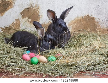 Two black rabbit is lying on the manger next to colored eggs