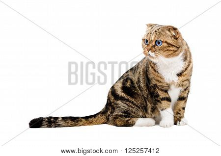 Portrait of a curious cat Scottish Fold sitting isolated on white background