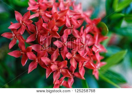 Red Ixora flower with green leaf in Thailand