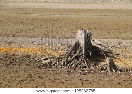 stumps of dead trees with revealed roots on the bottom of dry pond