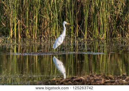 Little Egret with reflection at lake. Photographed at golden hour light