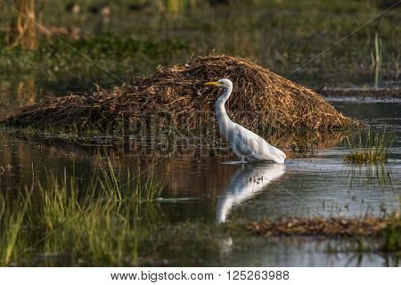 Little Egret with in lake in search of food. Photographed at golden hour light.