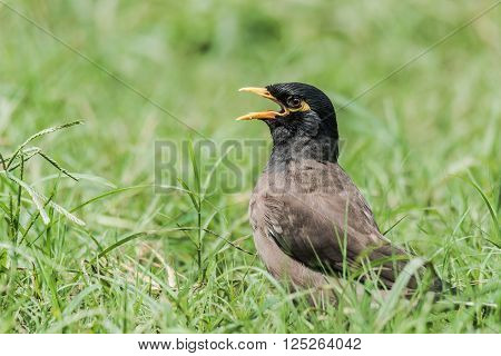Common Myna close up shots while sun basking