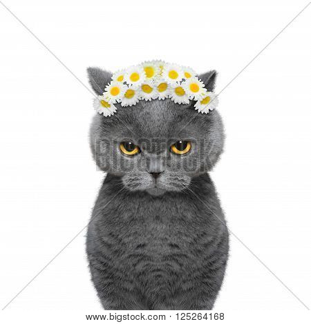 wreath of chamomile flowers on the head of a cat -- isolated on white background