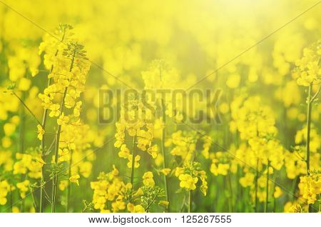 Rapeseed field with yellow flowers, natural agricultural eco sunny spring background