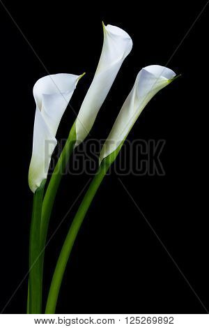 White calla lilies over black background .