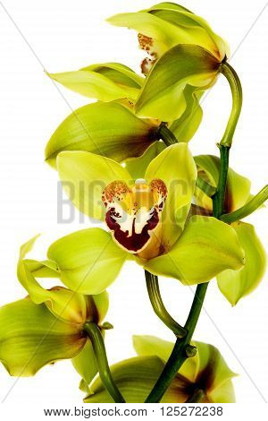 Orchid flower isolated on white background .