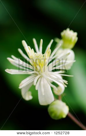 Close Up Of Evergreen Clematis (Clematis Vitalba) Flower