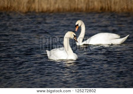 Two dumb swan floating on the lake