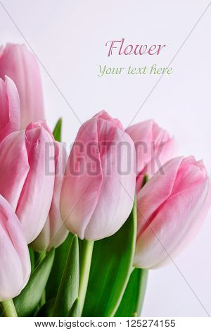 Tulips flower Isolated on white background .
