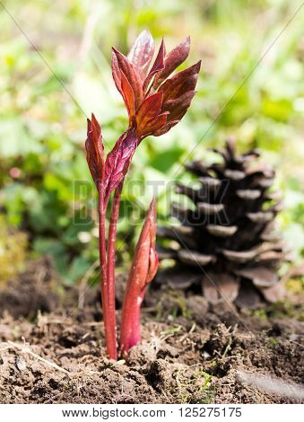 Maroon germ peony growing out of the ground in the spring garden. Selective focus, shallow depth of field