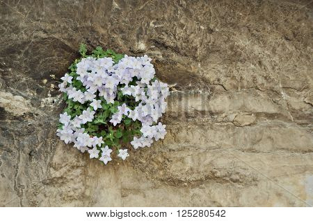 A small plant, covered in flowers manages to grow in a crack of a solid rock wall.