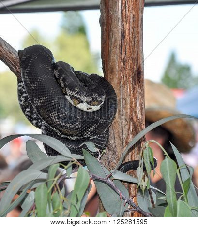 Large patterned python coiled around tree branch with green leaves in Western Australia.