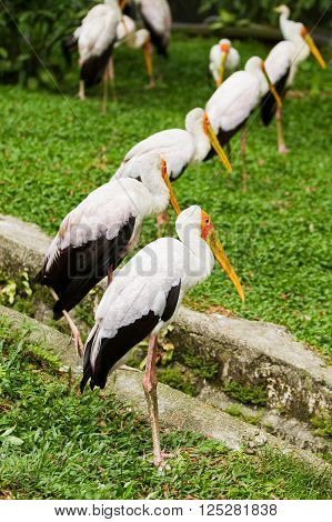 The milky stork (Mycteria cinerea). Big bird with yellow beak. Malaysia.