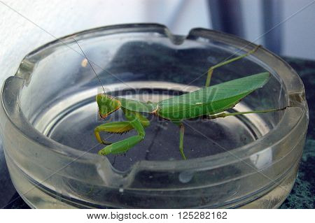 Green mantis sitting in an ashtray on the table