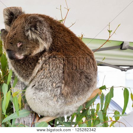 Australian furry brown Koala hugging a tree branch with eucalyptus leaves.