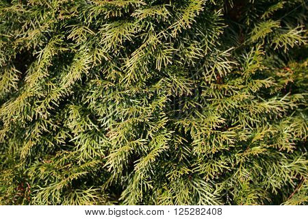 green juniper bushes for backgrounds and textures