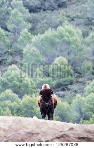 Angry bull with one hump and horns standing against of green forest