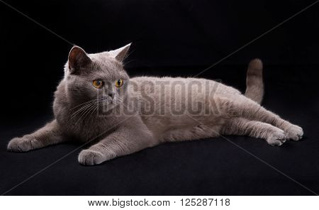 Beautiful cat is lying on black background