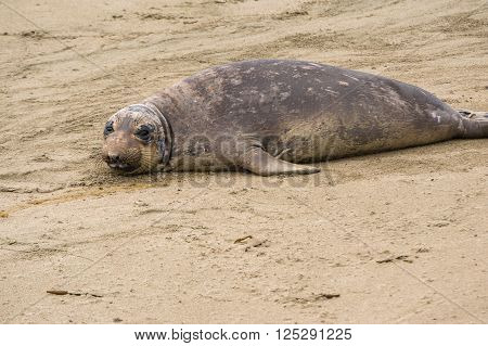 Giant Seal Resting On Beach
