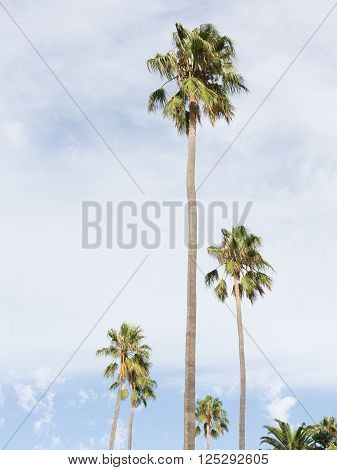 High beautiful green trees and blue sky with white cumulus and cirrus clouds