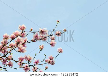 Magnolia tree blossom branch against blue sky. Magnolia flowers in spring time. Composition with copy space. Pink Magnolia or Tulip tree in botanical garden.